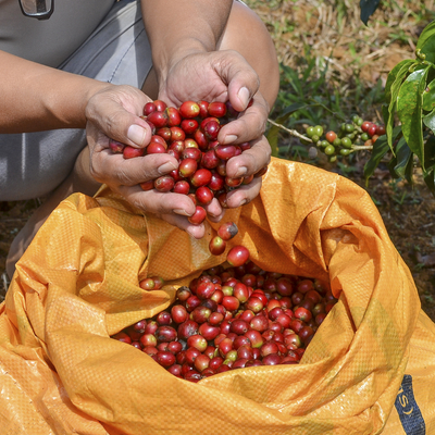 Farmer with a sack of red arabica coffee berries hand picking at coffee plantation